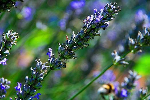 Lavender by Dany Lison