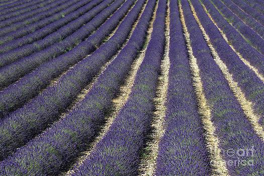 Lavender by Derek Croucher