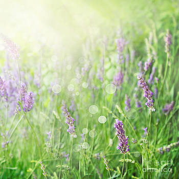 Mythja  Photography - Lavender field background