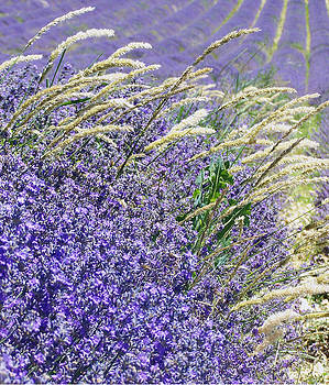 Lavender Field in Provence by Betsy Moran