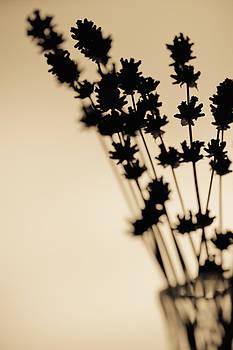 Lavender flowers by Lars Hallstrom