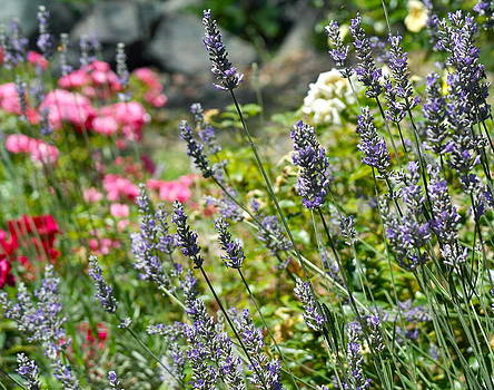 Lavender In Bloom by Michele Myers