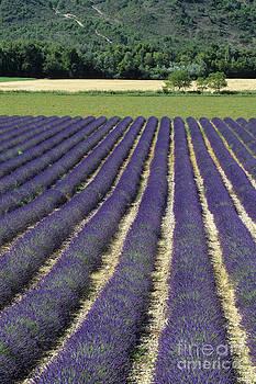 Lavender lines by Derek Croucher