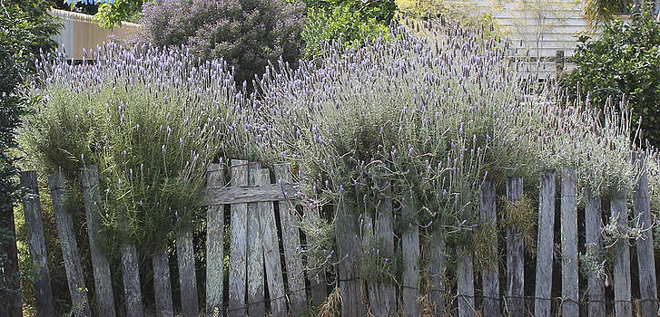 Kate Farrant - Lavender on the Old Fence