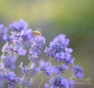 Lavender by P S