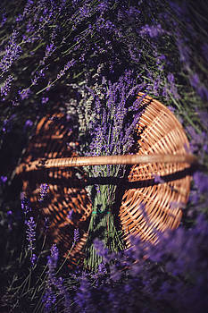 Lavender by Tatiana Pavlova