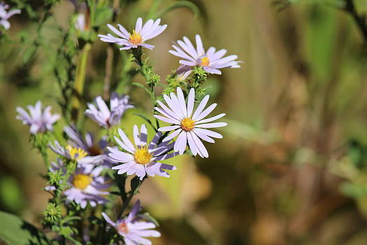 Lavender Wild flowers by Edward Hamilton