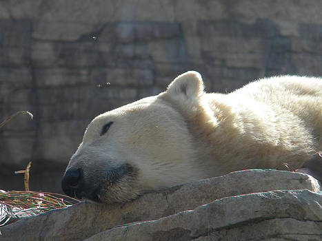 Lazy Polar Bear by Amanda Eberly-Kudamik