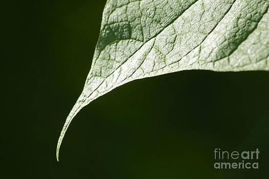 Leaf by Tony Cordoza