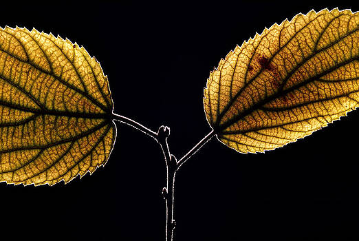 Leaves of Mediterranean hackberry by Henrique Souto