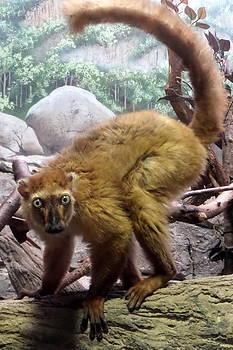 Lemur by Loretta Orr
