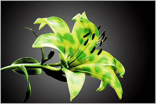 Leopard Lilly by Alexis Retter