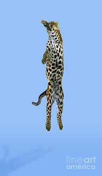 Stephen Dalton - Leopard Panthera Pardus