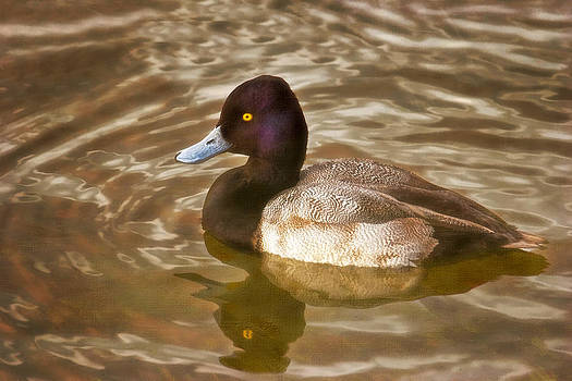 Lesser Scaup by Joan Bertucci