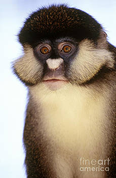 Art Wolfe - Lesser White-nosed Monkey