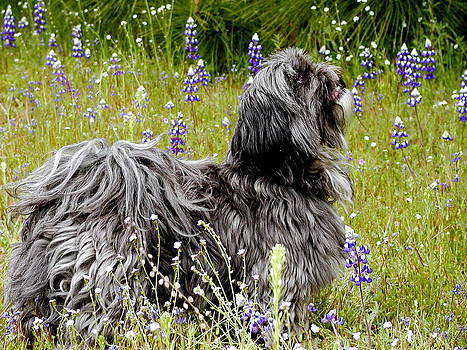Lhasa Apso Dog in field by Lisa Anne McKee