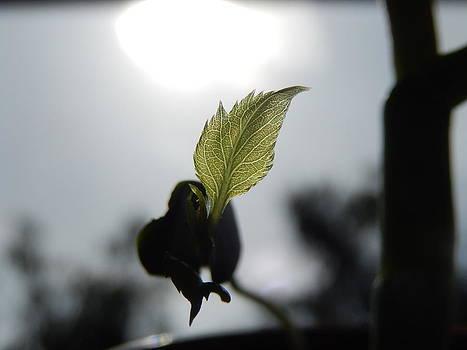 Light-leaf by Rosvin Des Bouillons