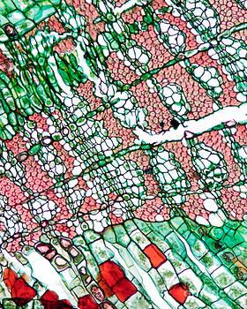 Lauren Piedmont - Light Micrograph Of Tilia Stem