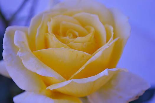 Light Rose by Saifon Anaya