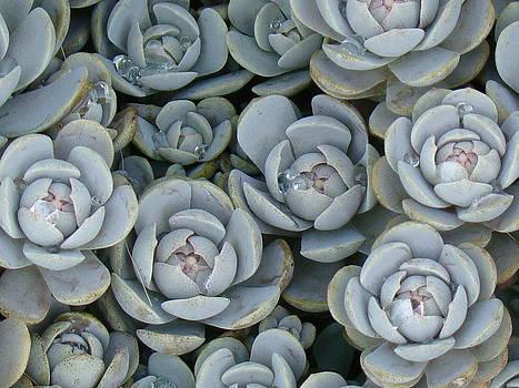 Rosanne Jordan - Like Steel Roses