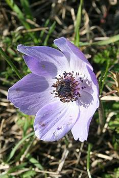 Tracey Harrington-Simpson - Lilac Blue Anemone Coronaria Wild Flower
