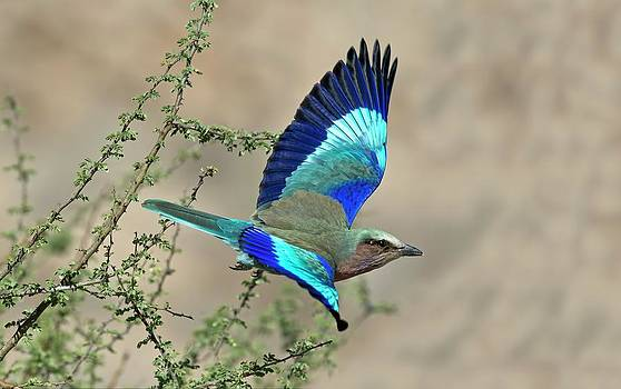 Lilac-breasted Roller In Flight by Tony Camacho