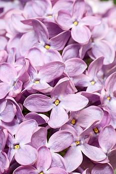 Lilac by Daniel Csoka
