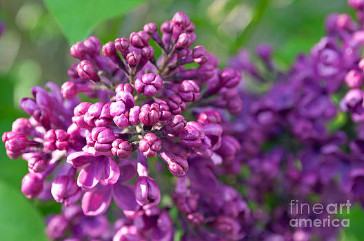 Lilac Dizzy by Gwyn Newcombe