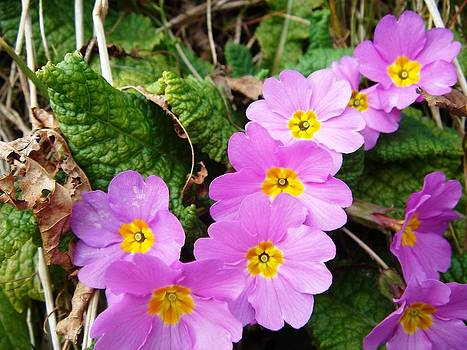 Tracey Harrington-Simpson - Lilac Petals Of Primula Vulgaris
