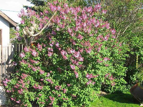 Lilacs by Gordon Wunsch