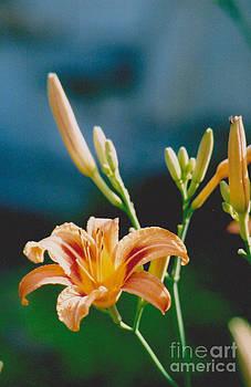 Lilies - 2 by Jackie Mueller-Jones