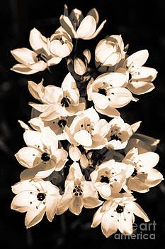 Gaspar Avila - Lilies blooming