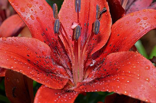 Lilly and Rain Drops by Susan Leggett