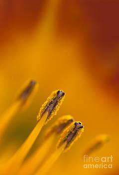 Lily Flower Macro Detail by Brandon Alms