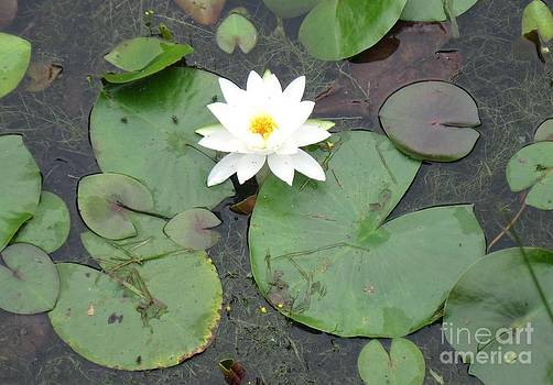 Lily Pond by Donna Cavender