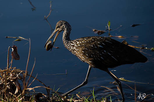 Limpkin and Clam by Brian Manley