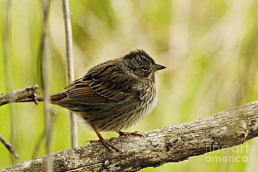 Larry Ricker - Lincolns Sparrow