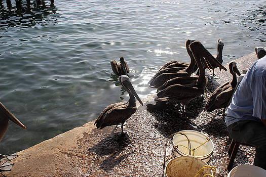 Line pelicans by Mark Perez