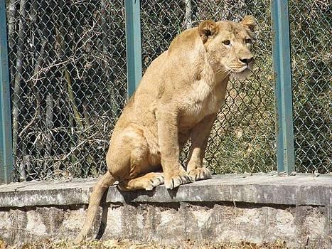 Lion by Adil