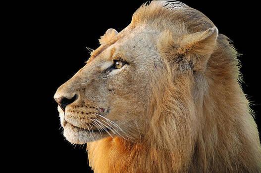 Lion by Chris Du Plessis