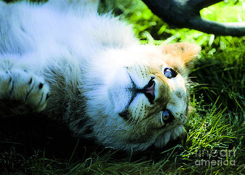 Lion Cub by Alan Oliver