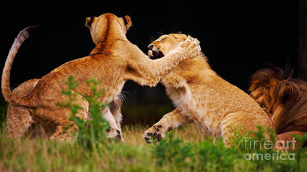 Nick  Biemans - Lion cubs playing in the grass