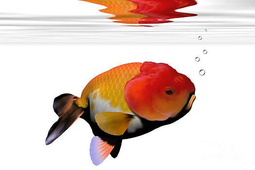 Corey Ford - Lion-Head Goldfish