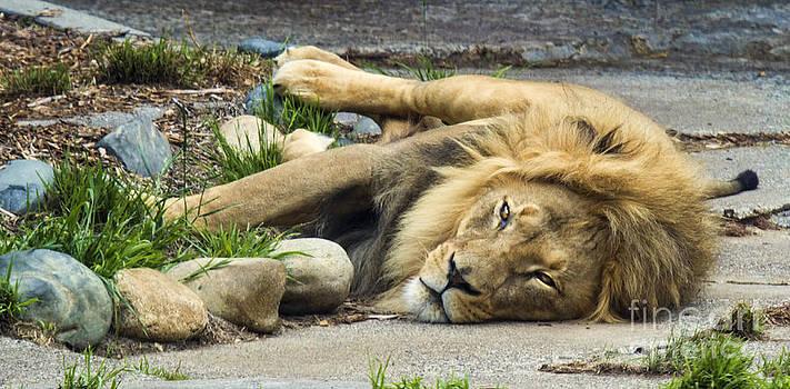 Chuck Kuhn - Lion I