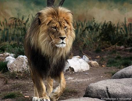 Ramabhadran Thirupattur - Lion King