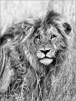 LION - Panthera leo by Judith Meintjes