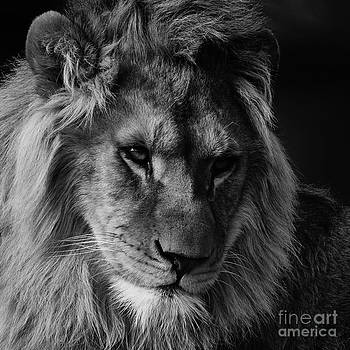 Nick  Biemans - Lion portrait in black and white
