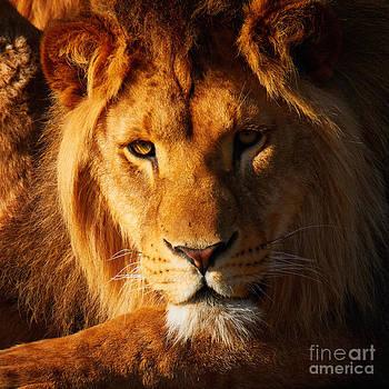 Nick  Biemans - Lion resting in the sun