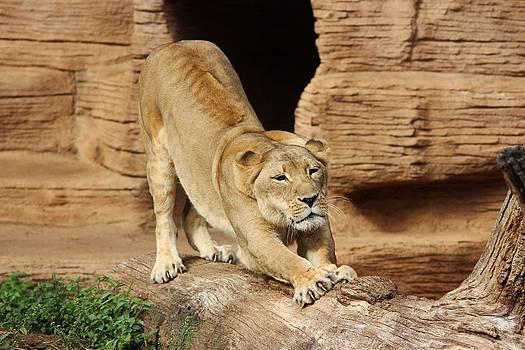 Paulette Thomas - Lion Stretch