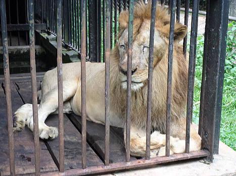 Lion by Sunanda Yapa